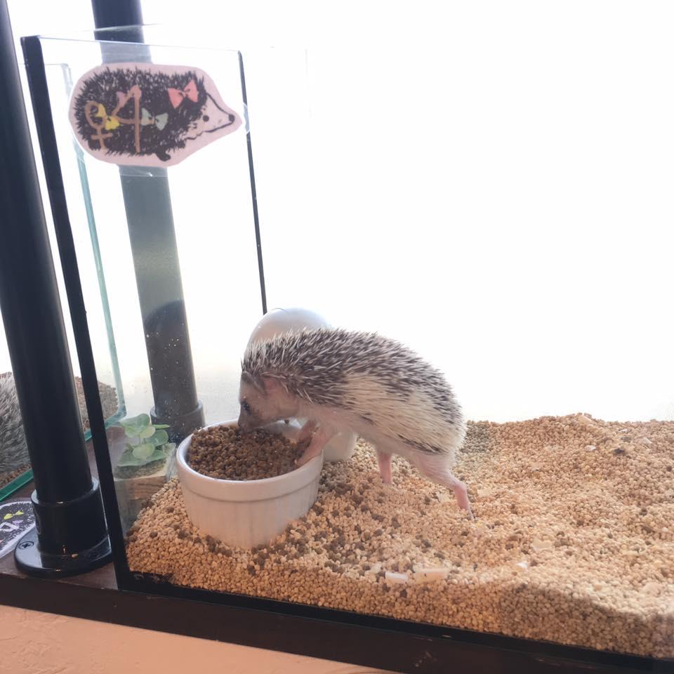 Saori-Hedgehog 26 April 2016-1.jpg