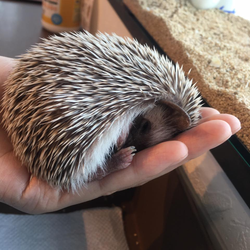 Saori-Hedgehog 26 April 2016-2.jpg